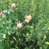 More mountain columbine. (Photo by Helen Ford Wallace).