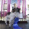 Peanut, a two-year-old mutt poses in front of the winning trophies, after winning the World\'s Ugliest Dog Contest, at the Sonoma-Marin Fair, Friday, June 20, 2014, in Petaluma, Calif. Peanut is from North Carolina. (AP Photo/George Nikitin)
