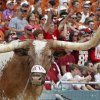The Texas mascot Bevo stands on the sidelines during the Red River Rivalry college football game between the University of Oklahoma Sooners (OU) and the University of Texas Longhorns (UT) at the Cotton Bowl in Dallas, Saturday, Oct. 8, 2011. Photo by Chris Landsberger, The Oklahoman