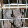 Photo - STRANGE ANIMAL: Photos were taken Saturday by Jeremy Scheffel.  They spotted the creature at Dry Gulch USA northeast of Pryor and sent it to a Claremore animal rescue. It is suspected that the animal is a raccoon with a bad case of mange. Photo by Jeremy Scheffell, for The Oklahoman ORG XMIT: KOD