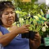 Photo -  Michele Hummingbird selects a plant at the Norman Farm Market at the Cleveland County Fairgrounds. PHOTO BY STEVE SISNEY, THE OKLAHOMAN  <strong>STEVE SISNEY -   </strong>