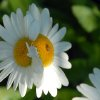 Check out this double-headed daisy from my backyard. It\'s two blooms joined together on one stem. Community Photo By: Gina Jordan Submitted By: Gina Jordan, Oklahoma City