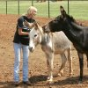 Vicki MacKenney and two of her rescue donkeys at Peaceful Valley Donkey Rescue in Piedmont, Okla. August 27 , 2008. BY STEVE GOOCH, THE OKLAHOMAN
