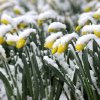 Daffodils are covered with wet spring snow in Lancaster, Pa., Monday morning, March 25, 2013 as a storm stretching from the Midwest to the East Coast is burying thoughts of springtime weather under a blanket of heavy wet snow and slush. (AP Photo, Intelligencer Journal / Lancaster New Era, Richard Hertzler)