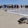 Photo -  A group of people watch a turtle swim to the ocean after rehabilitation April 22 in Jacksonville, Fla.  AP Photo   Bob Mack -  AP