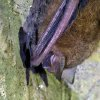 Photo - In this undated image from video, a bat suspected of having white-nose syndrome clings to a cave wall in Mammoth Cave National Park in Mammoth Cave, Ky. The disease that has killed more than 6 million cave-dwelling bats in the United States is on the move and wildlife biologists are worried. It gets its name from a white fungus that's found on the muzzles, ears and wings of infected bats. In Tennessee, some caves are closed to the public. At Mammoth Cave National Park, visitors are required to scrub their shoes after cave tours. Wildlife biologists say the threat is real -- there is no known way to stop the spread. (AP Photo/Alex Sanz)