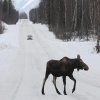 Photo -   FILE - In this March 23, 2012 file photo, a moose crosses a road near Anchorage, Alaska. Record snowfall in the Anchorage area has caused more moose to come down to town, congregating in trails, roadways and rail lines. That has resulted in the most ever traffic and moose collisions, with 455 moose being killed in the Matanuska-Susitna Borough just north of Anchorage alone. (AP Photo/Anchorage Daily News, Bill Roth, File)