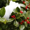 Snow covers a holly bush in Downtown Edmond, Wednesday February 20, 2013. Photo By Steve Gooch, The Oklahoman