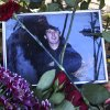 Photo - Flowers surround a portrait of Yegor Shcherbakov, 25, who was stabbed to death in a dispute over his girlfriend with another man as the couple returned home on Thursday, Oct. 10, 2013, sparking riots in Moscow's outskirts, Monday, Oct. 14, 2013. Police in Moscow rounded up over a thousand employees of a vegetable warehouse on Monday, a day after riots on the Russian capital's southern outskirts. (AP Photo/ Denis Tyrin)