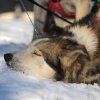 A Sonny Lindner team dog rests its head on the snow at the Koyuk checkpoint during the 2014 Iditarod Trail Sled Dog Race on Sunday, March 9, 2014. (AP Photo/The Anchorage Daily News, Bob Hallinen)