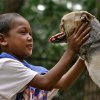 In this August, 12, 2012 photo provided by the University of California - Davis, a Bunggal family member plays with Kabang the dog in the Philippines. The dog that lost its snout while saving two girls in the Philippines has been brought to the University of California, Davis, where veterinarians will try to fix its injuries. UC Davis surgeons say Kabang will need multiple surgeries, but they are confident they can improve its condition.(AP Photo/UC Davis, Anton Lim)