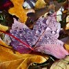 Dew on fall leaves Community Photo By: Cindi Tennison Submitted By: Cindi , Bethany