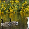 Geese swim at Woodrun Pond in Yukon, Friday, September 28, 2012. Area lakes and ponds levels have risen with the recent rains. Photo By Steve Gooch, The Oklahoman