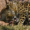 A jaguar gets to eat a Thanksgiving treat of roast at the Oklahoma City Zoo on Wednesday, Nov. 26, 2008, in Oklahoma City, Okla. STAFF PHOTO BY CHRIS LANDSBERGER ORG XMIT: KOD