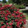 Roses in Will Rogers Park. PHOTO BY JIM BECKEL, THE OKLAHOMAN ARCHIVES JIM BECKEL
