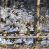Birds take of from the ground in the forest near the village of Lovtsevichi, 50 km ( 31,2 miles) north-west of Minsk, Belarus, Monday, Jan. 4, 2016. The temperatures in Belarus reached around -15 Celsius (5 degrees Fahrenheit). (AP Photo/Sergei Grits)