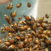 Oklahoma City, OK. 5/11/04 BUGS: Some of the ladybugs which will be released into the Myriad Gardens Botanical Tube on Wednesday. Staff photo by Paul Hellstern.