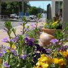 Pots of purple and yellow flowers at the entrance of city buildings in downtown Edmond show support for next week\'s PGA tournament. Community Photo By: Claudia Deakins Submitted By: Claudia, Edmond