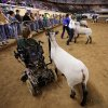 Shelby Frost, who is unable to walk because of a birth defect, uses her motorized wheelchair, which has been adapted, to allow her to show her sheep at the Oklahoma Youth Expo at State Fair Park on Tuesday, March 18, 2014. Frost, 11, is a member of Mulhall-Orlando 4H Club. She has been showing her sheep in competitions for three years. Photo by Jim Beckel, The Oklahoman