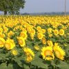 Sunflower field north of Harrah, Oklahoma - Photo by Laura Crain