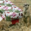 VISIT: Meerkats enjoy a Christmas treat of crickets and mealworms delivered by Santa Claus as he visits the Oklahoma City Zoo in Oklahoma City, OK, Monday, Dec. 15, 2008. BY PAUL HELLSTERN, THE OKLAHOMAN ORG XMIT: KOD