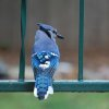 Blue Jay in my backyard Community Photo By: Cindi Tennison Submitted By: Cindi , Bethany
