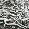 Bare Oak limbs support inches of fresh snow in Edmond, Okla., Saturday, Jan. 30, 2010. By Paul Hellstern, The Oklahoman
