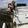 Photo - In this Monday, July 14, 2014 photo, blue crab fisherman Jeffrey Mullins, 54, of Palmetto Bay, Fla., unloads crabs from a trap while working in Biscayne National Park, Fla. Mullins has been fishing for decades and hopes to pass the business on to his children. Federal officials are seeking to ban commercial fishing in the park which is offshore from suburban Miami. Officials say cutting off commercial fishing will help improve the numbers and size of fish swimming through the park. (AP Photo/Lynne Sladky)