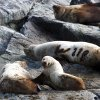 Steller Sea Lions sunbath near the Inian Islands in Southeast Alaska, Wednesday, June 6, 2012. Photo by Sarah Phipps, The Oklahoman