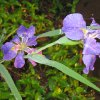 The wet weather has really made the iris\'s bloom in our garden. Community Photo By: Lynn Green Submitted By: Lynn, Oklahoma City
