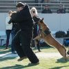 Photo - In this Oct. 25, 2013 photo provided by K9s4KIDS, security dog Sjors takes down a human decoy at the Texas K9 Officers Conference & Trials in Houston.  Schools have beefed up security, staged mock drills and added metal detectors, cameras and alarms to prevent violence. Some think teachers should be armed and the National Rifle Association wants armed police in every American school.  Kristi Schiller thinks some special dogs might do the trick. She wants her charity, K9s4KIDS, to do for schools what it's done for police departments in the U.S. - place scores of trained dogs among their ranks through the nonprofit set up in 2009. (AP Photo/K9s4KIDS, Billy Miller)