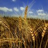 Golden stalks of wheat contrast against the blue sky before wheat harvest begins in Yukon. PHOTO BY CHRIS LANDSBERGER, OKLAHOMAN ARCHIVE
