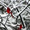 A pair of Cardinals in the backyard. Community Photo By: Jim Harr Submitted By: Jim, Edmond