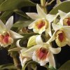 BRIAN TRUONG / ORCHIDS / ORCHID: Cattlaya orchid grown by Brian Truong, Yukon. Staff photo by Jim Beckel. Photo dated 11/11/2002.