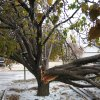 Tree Collapse from Ice Storm December 10, 2007 Community Photo By: Stephen Ball Submitted By: Stephen, Oklahoma City