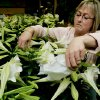 Sherri Morren Ormes, manager of Earl\'s Flowers and Gifts, works with some of the lilies stored at the florist for churches for Easter Sunday in Norman, Ok. Tuesday March 18, 2008. BY JACONNA AGUIRRE/THE OKLAHOMAN