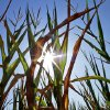 Central Illinois corn crops show signs of stress as they struggle to grow during a record breaking heat wave with dry weather conditions that is across most of the country Friday, July 6, 2012 in Farmingdale, Ill. There\'s been no relief day or night from a scorching heat wave in the central U.S., and the deadly temperatures were heading east Friday after Midwest cities like Chicago, St. Louis and Milwaukee set record highs. (AP Photo/Seth Perlman) ORG XMIT: ILSP101