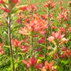 Field of Indian Paintbrush, Prague Oklahoma. Community Photo By: SHARI JOHANNING Submitted By: SHARI, BETHANY