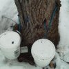 This March 12, 2013 photo released by the Maine Forest Rangers shows an illegally tapped maple tree in northern Maine. Thieves are illegally tapping trees across Maine and stealing the sap that runs each spring that\'s used to make sweet maple syrup. Forest rangers say the illegal tappers are damaging valuable maple trees before they are harvested for lumber. (AP Photo/Maine Forest Rangers)