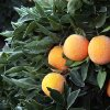 This Jan. 12, 2013, photo shows frost on a tree with oranges in an orchard near Sanger, Calif., after a night of freezing temperatures. As an unusual cold spell gripped parts of the West for a fifth day, some California citrus growers reported damage to crops and an agriculture official said national prices on lettuce have started to rise because of lost produce in Arizona. (AP Photo/The Fresno Bee, Craig Kohlruss) LOCAL PRINT OUT (VISALIA TIMES-DELTA, REEDY EXPONENT, KINGBURG RECORDER, SELMA ENTERPRISE, HANFORD SENTINEL, PORTERVILLE RECORDER, MADERA TRIBUNE, THE BUSINESS JOURANL FRENSO); LOCAL TV OUT (KSEE24, KFSN30, KGE47, KMPH26)