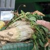 In this March 6, 2013 photo, a mature sugar beet is shown, in Tranquility, Calif. Farmers in central California hope to build the nation\'s first commercial-scale bio-refinery in nearby Mendota, Calif., to turn beets into biofuel. Europe already has more than a dozen such plants, but most ethanol in the United States is made from corn. (AP Photo/Gosia Wozniacka)