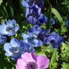 Pink and blue anemones were featured in a spring flower bed at the Dallas Arboretum Mar. 20. Community Photo By: Lin Archer Submitted By: Lin,