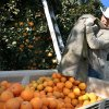 This Jan. 11, 2013, photo shows farm worker Javier Hernandez harvesting oranges in a grove to get ahead of the expected hard freeze in Ivanhoe, Calif. As an unusual cold spell gripped parts of the West for a fifth day, some California citrus growers reported damage to crops and an agriculture official said national prices on lettuce have started to rise because of lost produce in Arizona. (AP Photo/The Fresno Bee, Craig Kohlruss) LOCAL PRINT OUT (VISALIA TIMES-DELTA, REEDY EXPONENT, KINGBURG RECORDER, SELMA ENTERPRISE, HANFORD SENTINEL, PORTERVILLE RECORDER, MADERA TRIBUNE, THE BUSINESS JOURANL FRENSO); LOCAL TV OUT (KSEE24, KFSN30, KGE47, KMPH26)