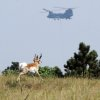 A pronghorn runs across a field while a helicopter from Fort Carson helps fight the Black Forest Fire Wednesday, June 12, 2013, in Colorado Springs, Colo. Near Colorado Springs, authorities fear that a 12-square-mile wildfire in a heavily-wooded residential area might have already destroyed around 100 homes _ even as it continued to send up puffs of black smoke and likely consumed more buildings. (AP Photo/The Gazette, Christian Murdock) MAGS OUT