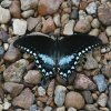 Butterfly getting a drink, Lake Tenkiller, Oklahoma. Community Photo By: Billy Sparks Submitted By: Billy, Choctaw