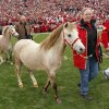 Boomer and Sooner V are lead onto the filed during a retirement ceremony for Boomer and Sooner IV before the college football game between the University of Oklahoma Sooners (OU) and the Oklahoma State University Cowboys (OSU) at the Gaylord Family-Memorial Stadium on Saturday, Nov. 24, 2007, in Norman, Okla. Photo By CHRIS LANDSBERGER, The Oklahoman