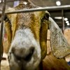 A goat stares down the camera at the Oklahoma State Fair at State Fair Park on Friday, Sept. 14, 2012, in Oklahoma City, Oklahoma. Photo by Chris Landsberger, The Oklahoman