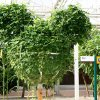 Mickey-shaped hops growing inside the Living with the Land ride at Disney\'s Epcot theme park.