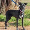 Allie is a spayed female, lab-mix available at Second Chance Animal Sanctuary on Thursday, Feb. 23, 2012, in Norman, Okla. She is eight-months-old, has an identifying microchip implant, is current on shots and tests, and is available for a fee of $90. Second Chance\'s phone number is 405-321-1915. Photo by Steve Sisney, The Oklahoman