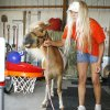 """Photo - Sheila Hall, who raises miniature horses, works with trick pony """"Tucker"""" at her ranch south of Guthrie, OK, Monday, June 15, 2009. By Paul Hellstern, The Oklahoman ORG XMIT: KOD"""
